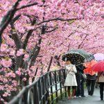 Khám Phá Lễ Hội Hoa Anh Đào Hanami Tuyệt Đẹp Tại Nhật Bản