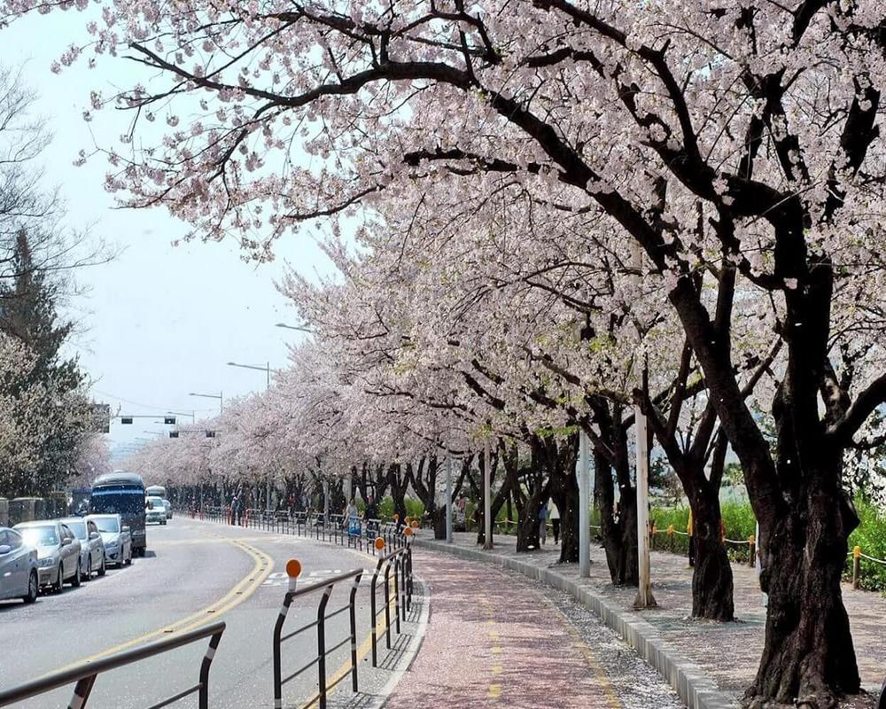 Tour Du Lịch Hàn Quốc 5 ngày: Ngắm hoa anh đào Hàn Quốc