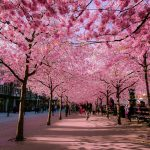 Top 4 điểm du lịch mùa hoa anh đào được yêu thích nhất 2019