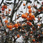 Hồng giòn Đà Lạt: Thức quả đặc trưng của người Đà Lạt
