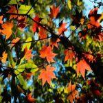 Khám phá rừng lá phong Đà Lạt: Nơi sở hữu vẻ đẹp ngỡ chỉ có trong cổ tích