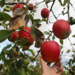 Mùa trái cây tại Nhật Bản