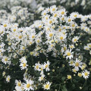 Ý nghĩa của hoa cúc họa mi trong tình yêu