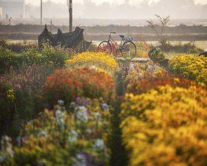 làng hoa phú mậu