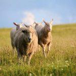 Nông trại hạnh phúc Farm Sanctuary bậc nhất nước Mỹ