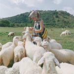 Đồng cừu Gia Hưng Ninh Bình – địa điểm chụp hình hút hồn giới trẻ