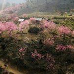 Khung cảnh hoa đào nở rộ ngay chân núi Lảo Thẩn